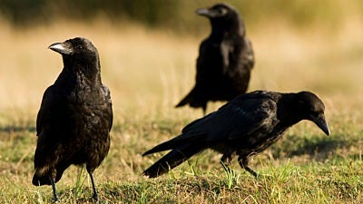 American Crows - The Good, The Bad and The Noisy
