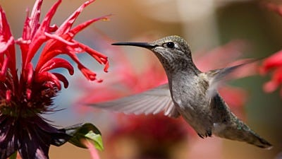Are Hummingbirds Really Attracted to Red?