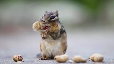 Beyond Squirrels: Chipmunks and 4 Other Bird Feeder Bandits