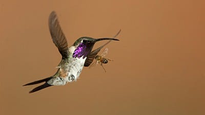 The Birds and the Bees: Battling Bees at Hummingbird Feeders