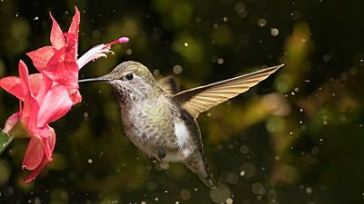 """Do You Have """"Drifters""""? How to Help Winter Hummingbirds"""