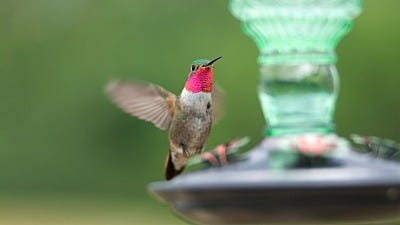 Flying Jewels, Gorgets & Other Little-Known Hummingbird Facts