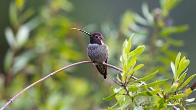 How Do Hummingbirds Eat?