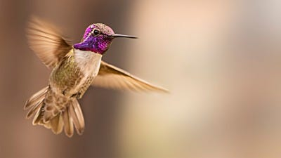 How Hummingbirds Attract A Mate with Stunts