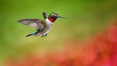 Hummingbird Instinct: Location vs. Color
