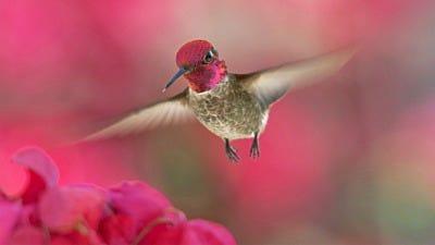 Hummingbird Migration Q&A