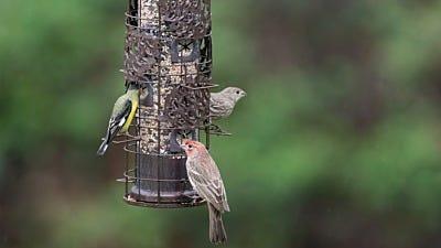 Identifying Backyard Birds At Your Feeders
