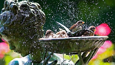 Rub-A-Dub-Dub: How Do Birds Bathe?