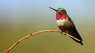 Species Spotlight: Ruby-Throated Hummingbird