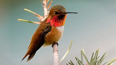 Species Spotlight: Rufous Hummingbird
