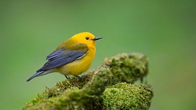 Species Spotlight: Prothonotary Warbler
