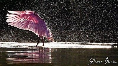 Steven Blandin: Photographing Florida's Finest Bird