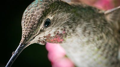 What DO Hummingbirds See?