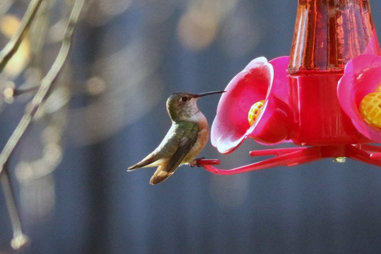 rufous hummingbird at feeder