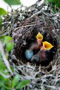 nest of baby birds