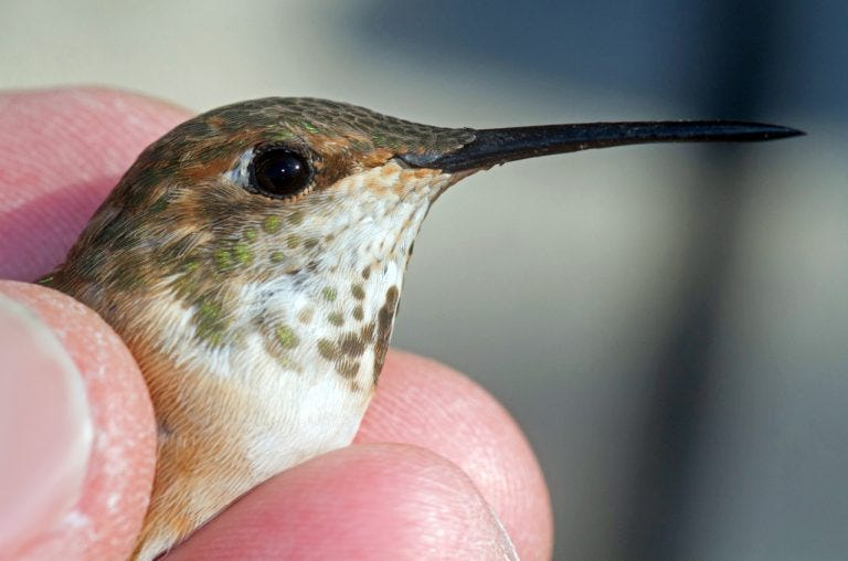 rufous hummingbird banded