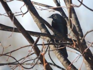 start a birding club red-winged blackbird