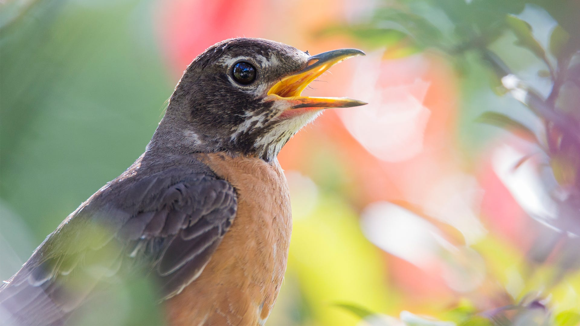 American Robin: Top 10 Most Interesting Facts