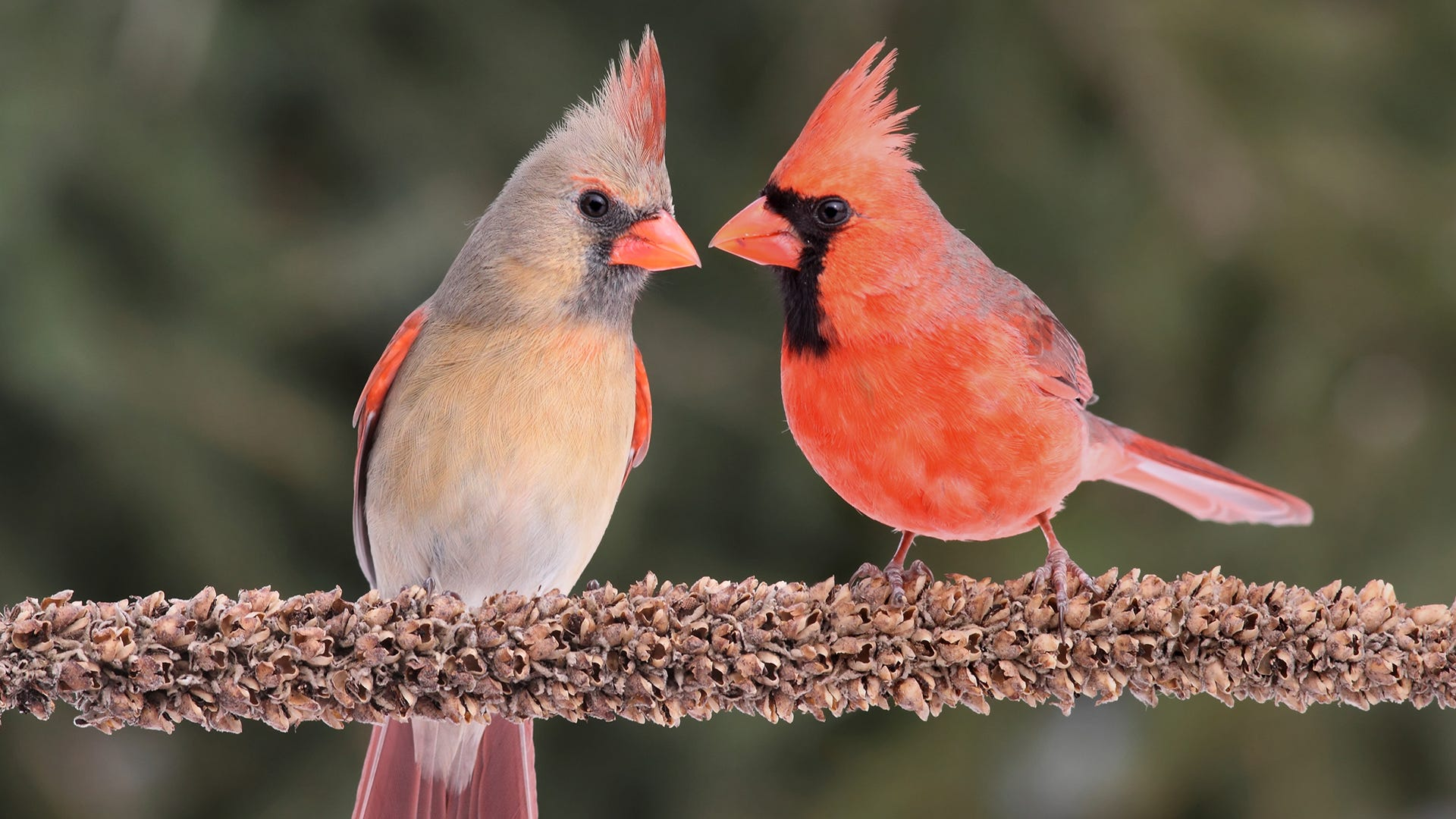Attract Cardinals to Your Yard: 7 Tips and 3 Things to Avoid