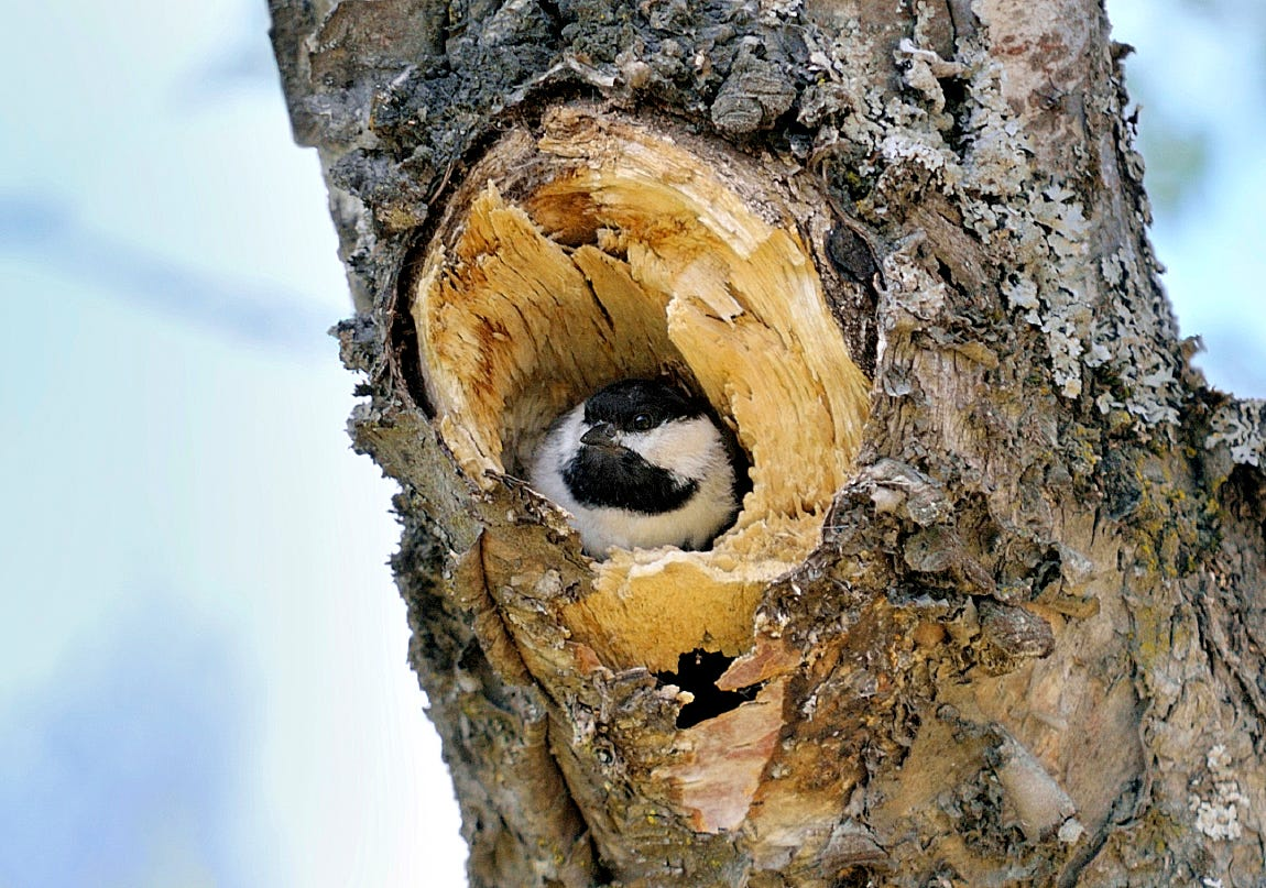 Black-capped Chickadees nest inside of tree cavities, often in spaces vacated by woodpeckers.