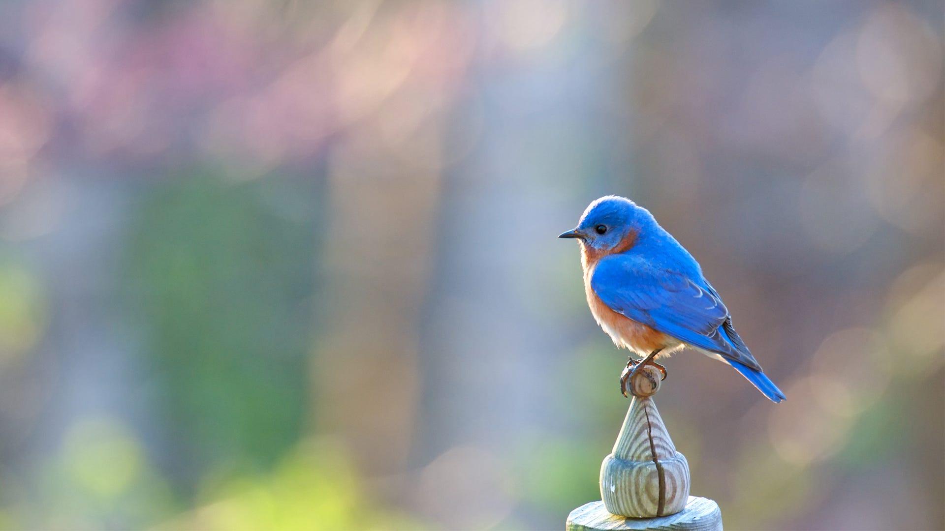 Bluebirds in Danger of Decline: How to Help
