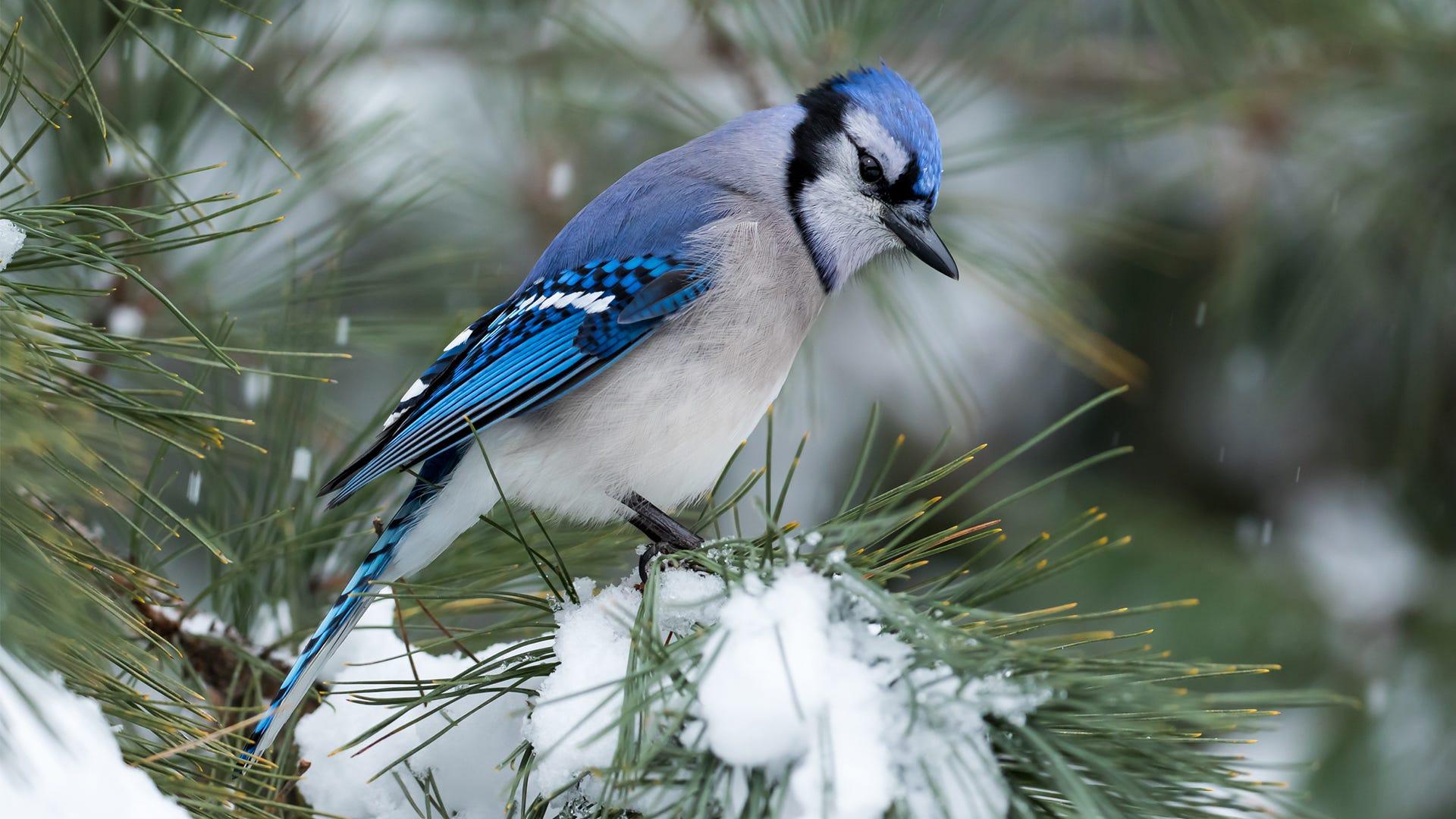 Join the Audubon's Society's Annual Christmas Bird Count