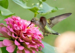 Female Ruby-throated Hummingbirds lack the red neck-bib that males have.