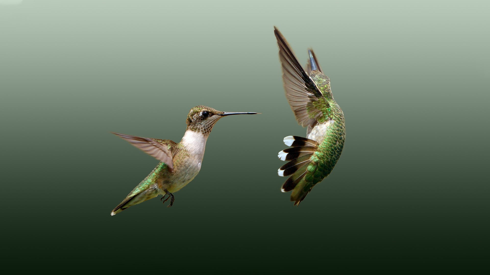 Flight or Fight: Understanding the Aggressive Hummingbird Personality
