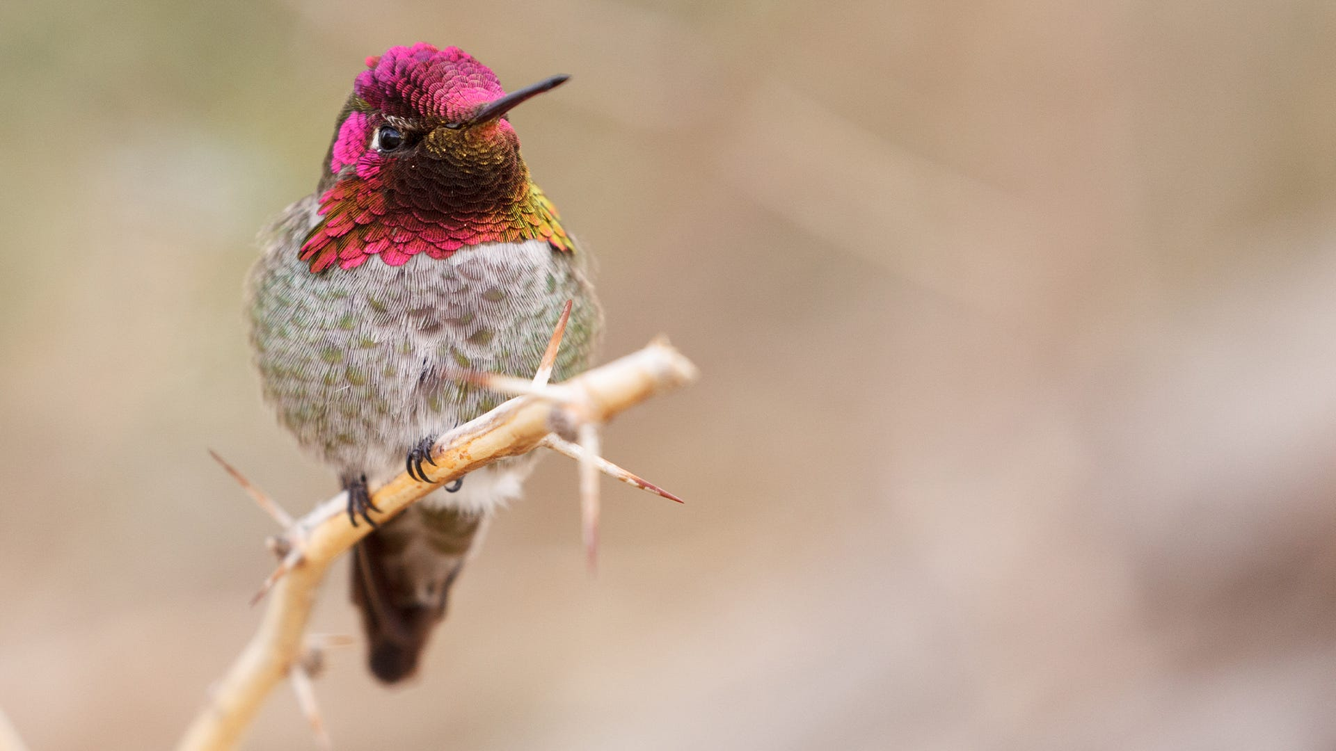How Do Hummingbirds Chirp with their Tails?