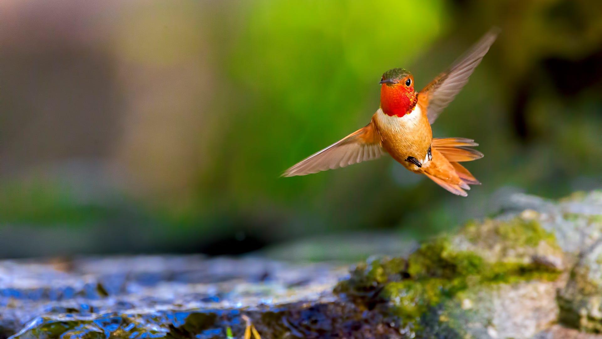 How to Help Hummingbirds Migrate