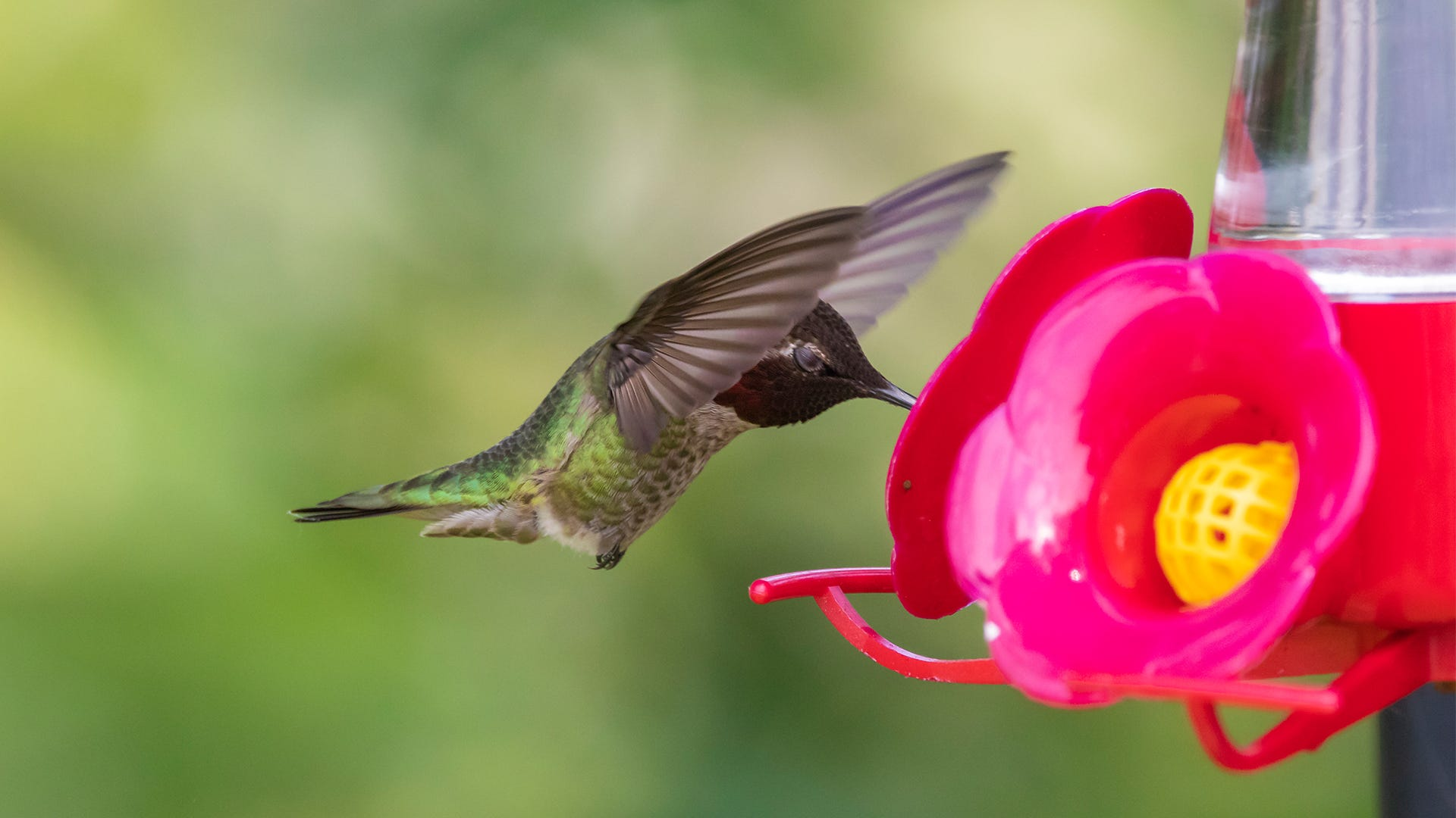 Hummingbird Safety: 5 Easy Ways to Protect Your Hummingbirds