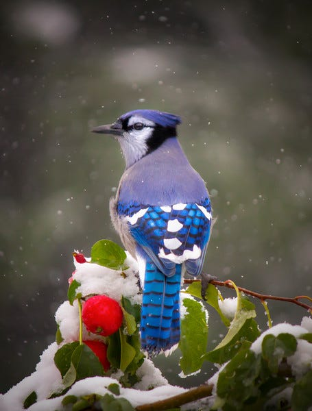 Laura Bentley's Blue Jay photo makes for a great Christmas card image. ©Laura Bentley
