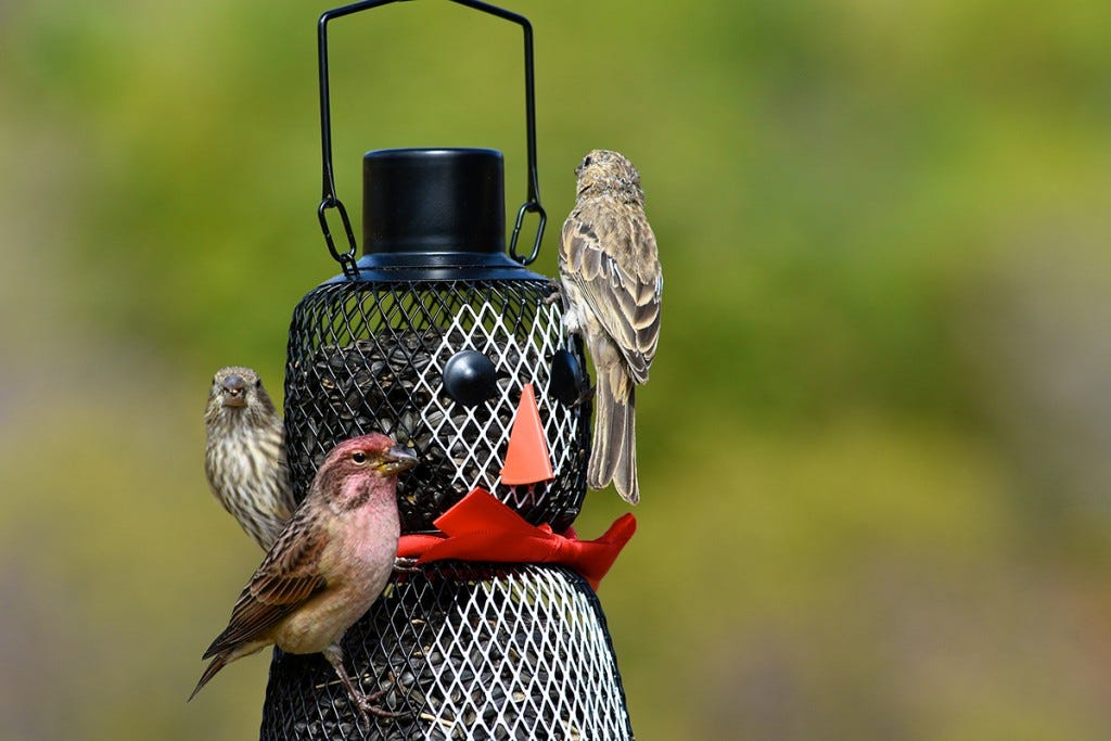 Your Christmas Bird Count can involve traveling around a local Count Circle, but if a park with bird feeders falls within that 15-mile zone, you can observe and report the birds visiting it as part of the census.