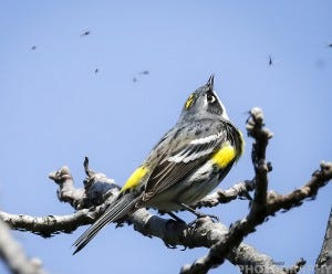 This Yellow-rumped Warbler was photographed by Ricky L. Jones. Notice the bugs flying around it.
