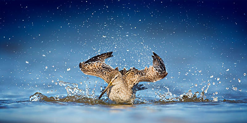 Steven Blandin captures a Short-billed Dowitcher as it splashes in the water near Fort De Soto in Florida.