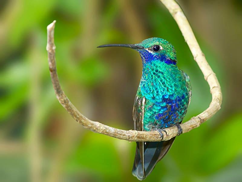 Steven Blandin captured this Sparkling Violetear Hummingbird while visiting Equador.