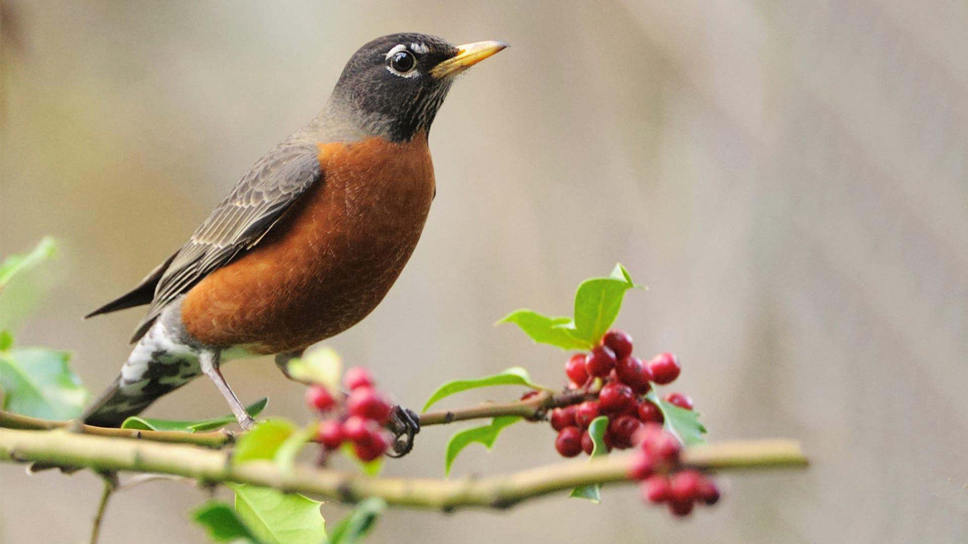 Species Spotlight: American Robin