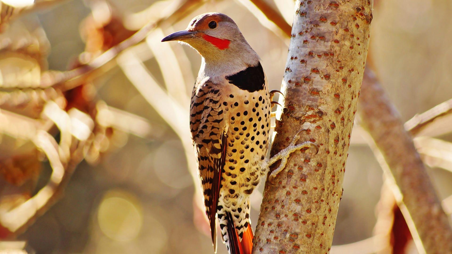 Species Spotlight: Northern Flicker