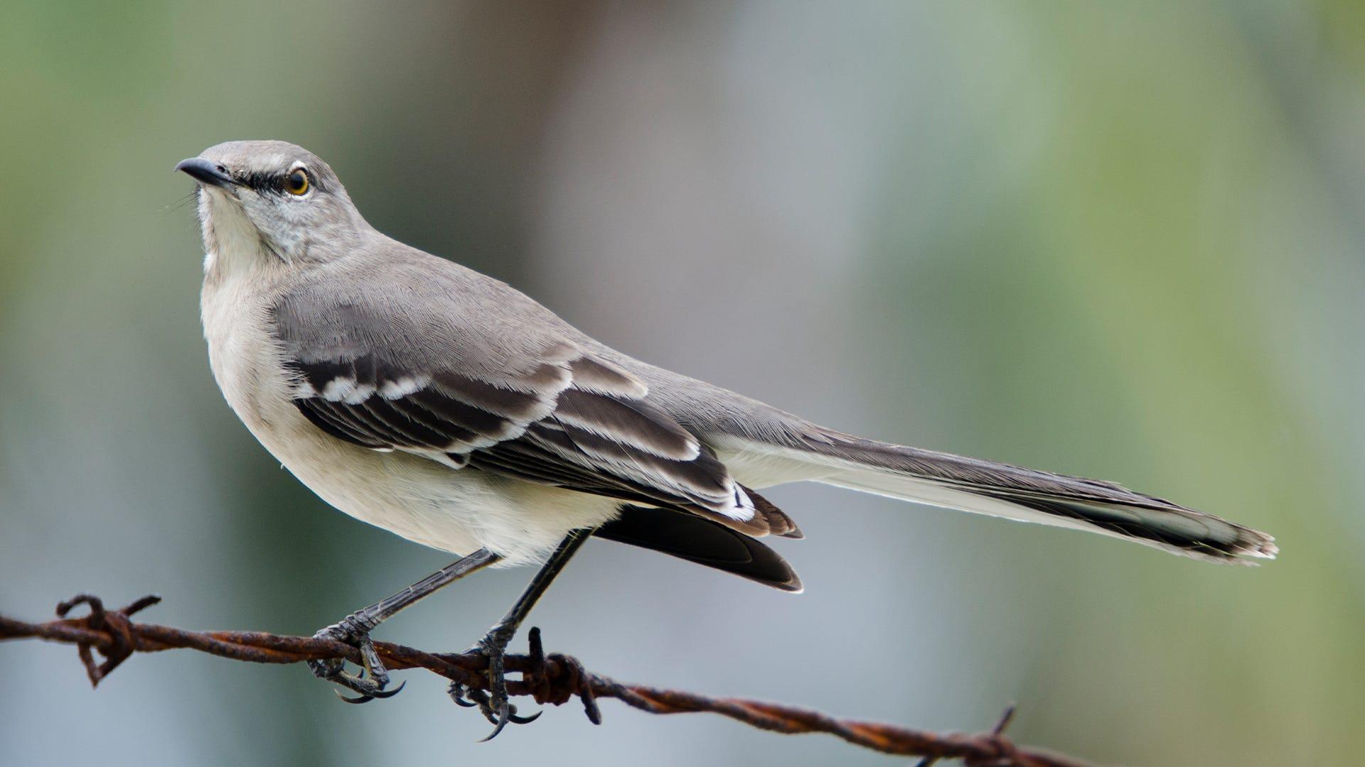 Species Spotlight: Northern Mockingbird