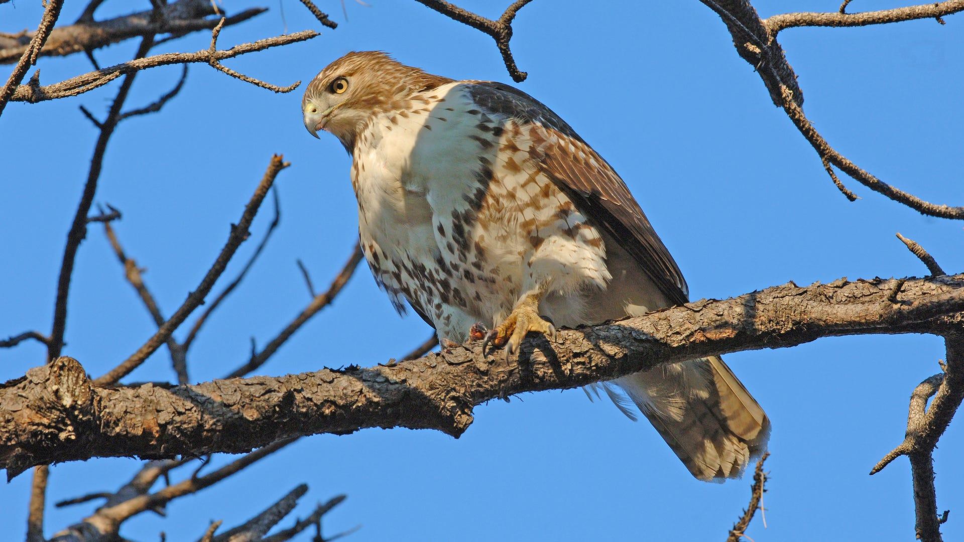 Species Spotlight: Red-Tailed Hawk