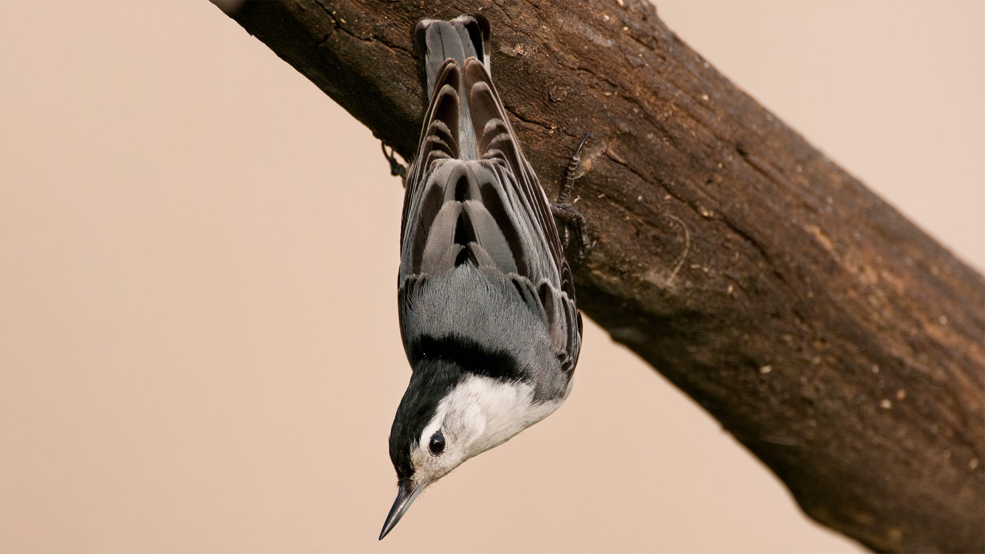 Species Spotlight: White-Breasted Nuthatch