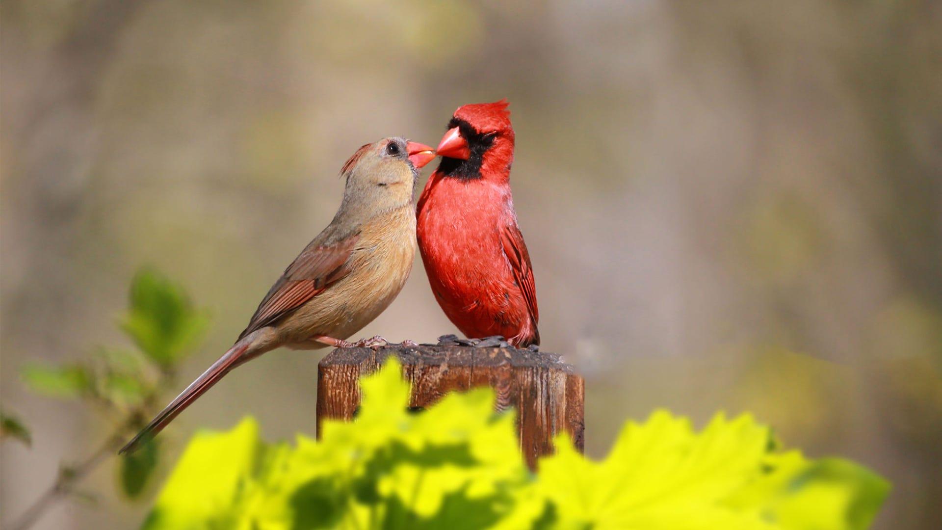 Species Spotlight: Northern Cardinal