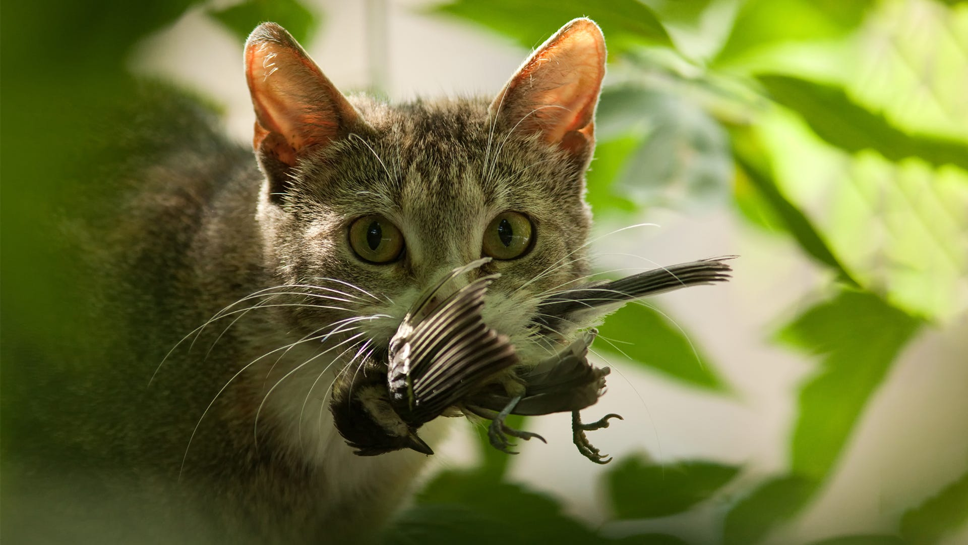 Wild Birds Be Wary - Cats Are On the Hunt!