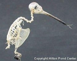 skeleton of hummingbird