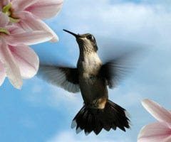 Hummingbird showing its tail feathers