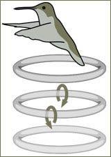 Motion pattern of hummingbird wings