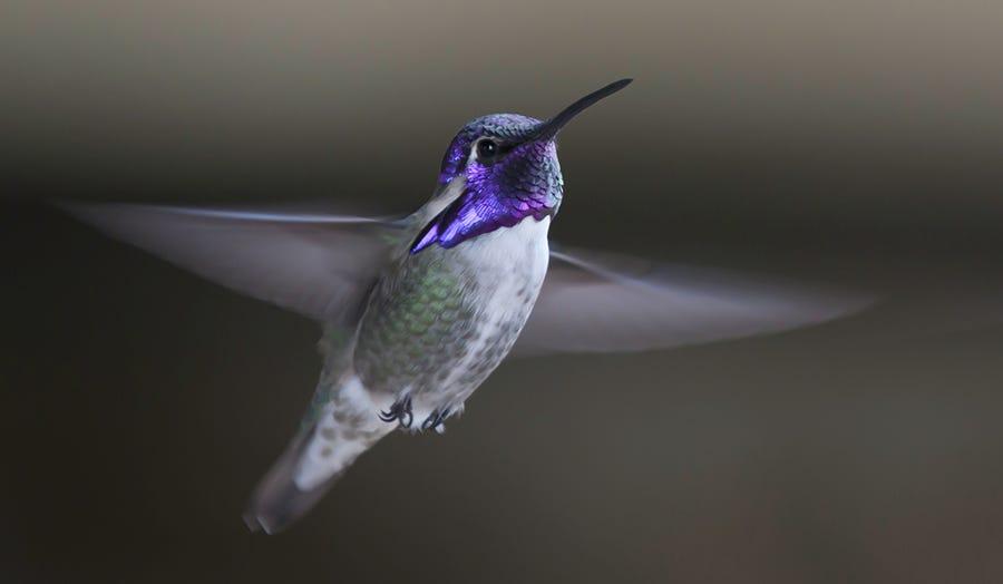 ID a Costa's Hummingbird