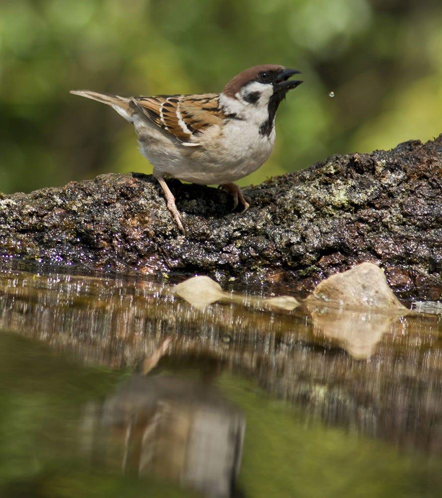 Identify the eurasian sparrow st. louis