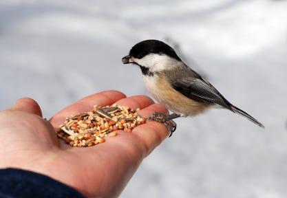 hand feeding chickadee