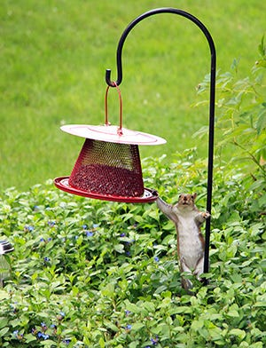 """Squirrel says, """"Hi."""""""